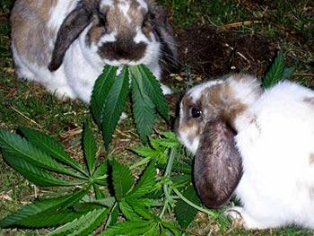 cannabisrabbits